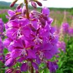 Трава иван-чай - отзывы, свойства и применение, состав, польза и противопоказания
